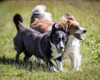 En honden die lopen spelen Royalty-vrije Stock Afbeelding