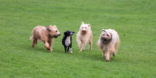 En honden die lopen spelen Stock Afbeeldingen