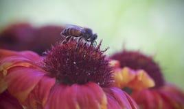 En Honey Bee på en filtblomma Arkivbild