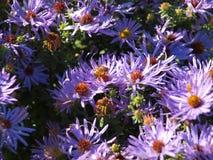 En Honey Bee Takes Nectar From A blått Daisy Flower Bed royaltyfri foto