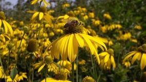 En honungsbi pollinerar av den gula blomman arkivbilder