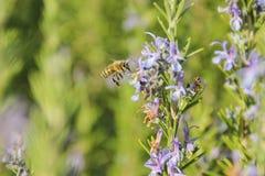 En honungsbi som framme flyger av en lavendelblomma Royaltyfri Fotografi