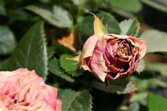En hopskrumpen röd ros på en solig dag royaltyfria foton