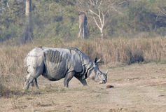En horned noshörning Royaltyfria Bilder