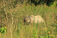 En horned noshörning i den Chitwan nationalparken, Nepal royaltyfri foto