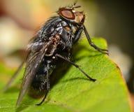 Housefly i sunen Arkivfoton