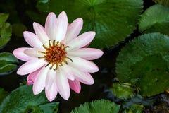 En härlig vit näckros- eller lotusblommablomma i dammet Arkivbild