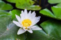 En härlig vit waterlily eller lotusblommablomma i dammet Fotografering för Bildbyråer