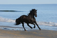 En häst kör på stranden Arkivbild