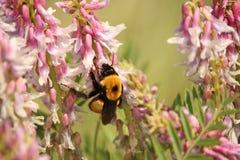En humla samlar pollen från rosa blommor Arkivfoton