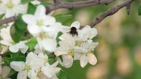 En humla som pollinerar Cherry Tree White Flowers lager videofilmer