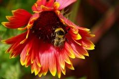En humla som samlar pollen arkivfoto