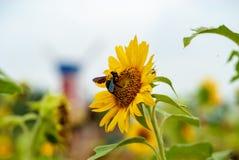 En humla som stjäler nektar från solrosen royaltyfria bilder