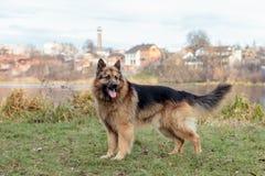 En hund är den bästa och riktiga vännen av mannen Royaltyfri Foto