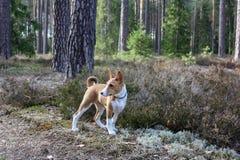 En hund av basenjiaveln med kort hår av vit och röd färg som utanför står med skogen i bakgrund på sommar arkivbilder
