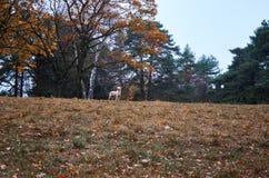 En hund av ljus färg mot bakgrunden av en höstlig lös skog Arkivbilder