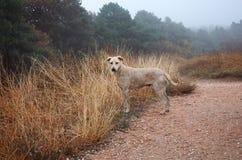En hund av ljus färg mot bakgrunden av en höstlig lös skog Royaltyfri Foto