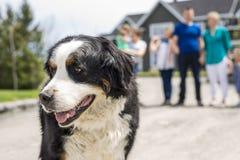 En hund för Bernese berg med familjsuddighet på baksidan Arkivfoto