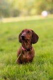 En hund för en gå 2 Fotografering för Bildbyråer