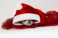 En hund för jul Fotografering för Bildbyråer