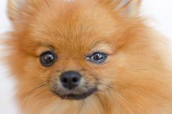 En hund har ett ögonproblem, bindhinneinflammation arkivbilder