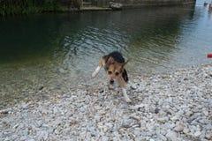 En hund har gyckel på strandstenarna Royaltyfri Fotografi