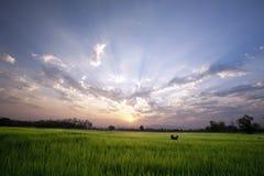 En hund i den fridsamma risfältet på soluppgånghimmel Royaltyfri Bild