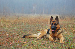 En hund i höstskog Arkivbild