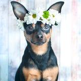En hund i en krans av kamomillar och en halsduk Temat av våren Royaltyfri Bild