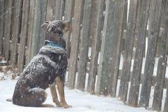 En hund i snöstormen Arkivbild