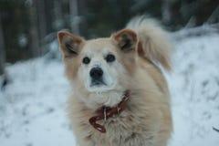 En hund i vinter Arkivbild