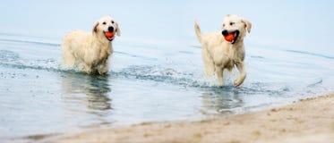 En hund kör stranden i en sprej av vatten arkivbild