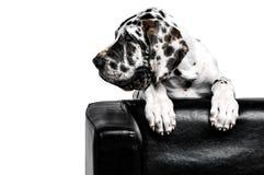 En hund kikar ut bakifrån soffan och ser till det vänstert på en vit bakgrund Stående av en förfölja En nyfiken hund ser ut Royaltyfria Bilder