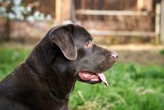 En hund labrador, en hund går, en labrador klibbade ut hans tunga Arkivbilder
