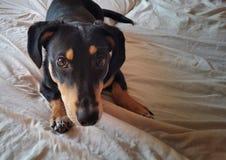 En hund ligger konstigt på en säng Royaltyfri Bild
