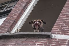 En hund med hans head klibba utanför fönstret arkivbild