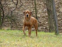 En hund med lyftt tafsar Arkivfoto