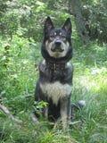 En hund namngav Deckare på går royaltyfria bilder