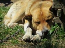 En hund på en chain sorgsenhet royaltyfri foto