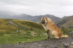 En hund på en bakgrund av berg i Georgia Royaltyfria Bilder
