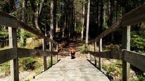 En hund på en bro Royaltyfri Bild