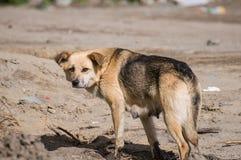 En hund på gatan Arkivbilder