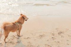 En hund på stranden med solnedgångtid arkivbilder