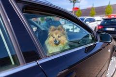 En hund ser ut f?nstret av en bil fotografering för bildbyråer