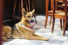 En hund sitter på golvet royaltyfri foto