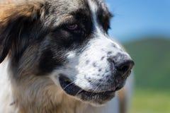 En hund som bevakar fåren Royaltyfria Bilder