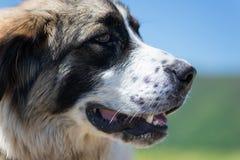 En hund som bevakar fåren Royaltyfri Bild
