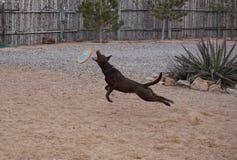 En hund som hoppar för en frisbee Royaltyfri Fotografi