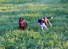 En hund som jagar annan hund som försöker att bita royaltyfria foton