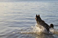 En hund som lyckligt kör i sufen royaltyfria bilder
